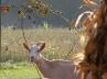 Koza na eko imanju Zrno, Habjanovac